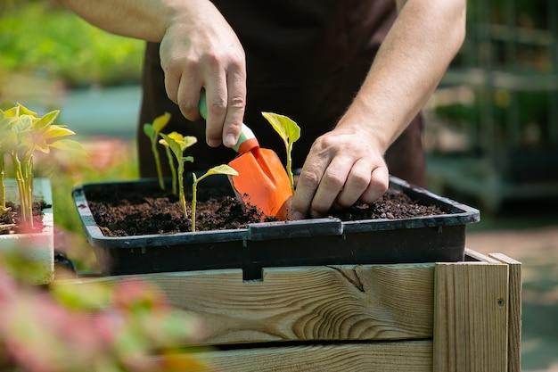 정원사는 삽과 파는 토양을 사용하여 콩나물을 심습니다. 근접 촬영, 자른 샷. 원예 작업, 식물학, 재배 개념