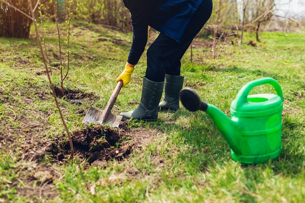 庭師はシャベルで掘る春の庭に木を植える
