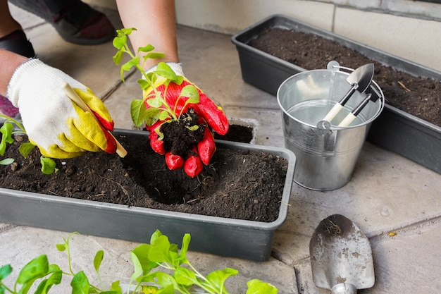 화분 도구로 정원사 심기 여성 손으로 꽃 피튜니아를 집에서 야외에서 심기