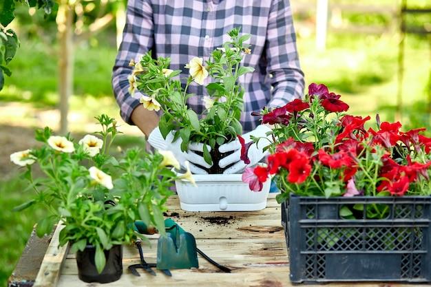 植木鉢ツールで庭師を植える女性の手で花を植えるペチュニアは、自宅の屋外の夏の庭で木製のテーブルの後ろに立っています