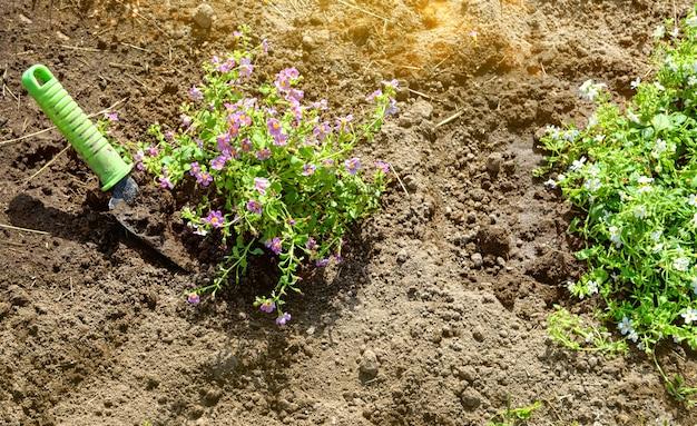 庭師はバコパの花の苗を植えます。選択的なソフトフォーカスの手袋をはめた手のクローズアップ写真。