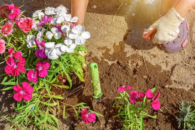 정원사는 다채로운 중국 카네이션 꽃의 묘목을 심습니다. 선택적 소프트 포커스가 있는 장갑을 낀 손의 클로즈업 사진.