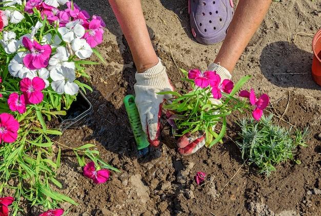 정원사는 여러 가지 빛깔의 중국 카네이션 꽃 묘목을 심습니다. 선택적 소프트 포커스가 있는 장갑을 낀 손의 클로즈업 사진.