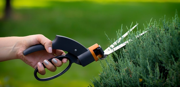 The gardener prunes the conifer with large scissors.