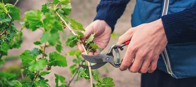 庭師が庭でスグリの茂みを剪定します。セレクティブフォーカス。自然。
