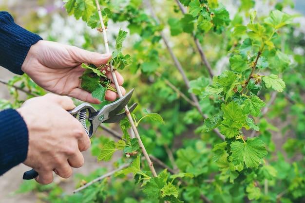 庭師は庭でスグリの茂みを剪定します。セレクティブフォーカス。