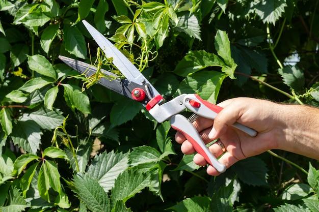 정원사는 정원에서 가위나 가지치기로 녹색 담쟁이 가지를 가꾸고 있습니다. 원예 도구 및 계절 작품 개념