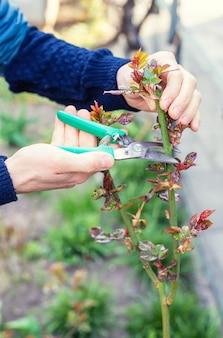 庭師は庭でバラを剪定します。セレクティブフォーカス。