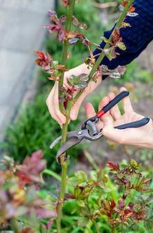庭師が庭でバラを剪定します。