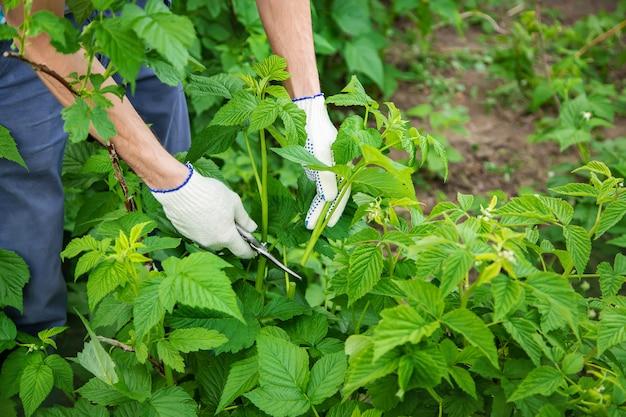 Gardener pruning shears bushes. garden.