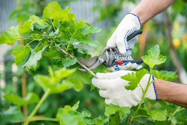 Gardener pruning shears bushes. garden.