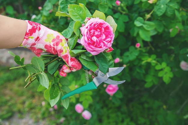 Gardener pruning tea rose shears. selective focus.