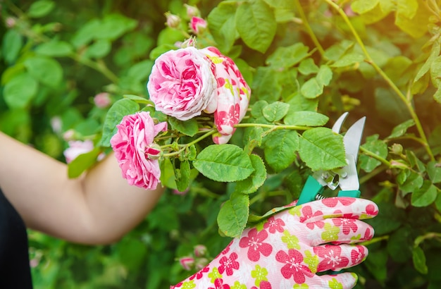 Gardener pruning tea rose shears.