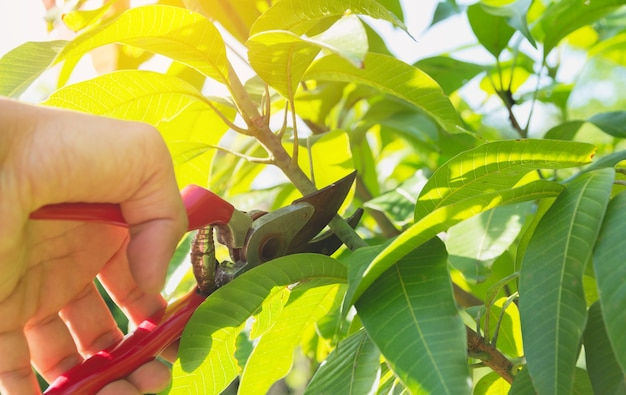Gardener pruning trees with pruning shears on nature background