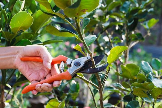 庭師は自然に剪定鋏で木を剪定します。