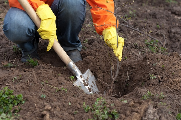 Gardener resetting  tree in soil