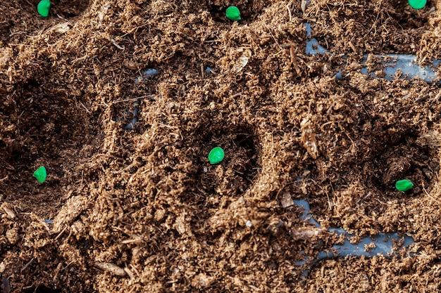 정원사의 손이 땅에 후추 씨앗을 뿌립니다.