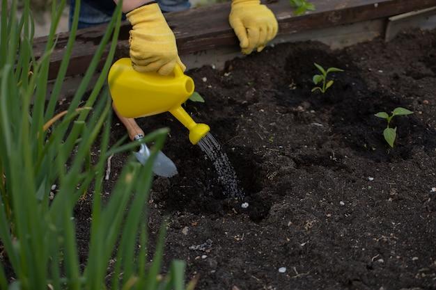 정원사는 급수 깡통에서 갓 심은 녹색 식물에 물을줍니다. 원예 개념