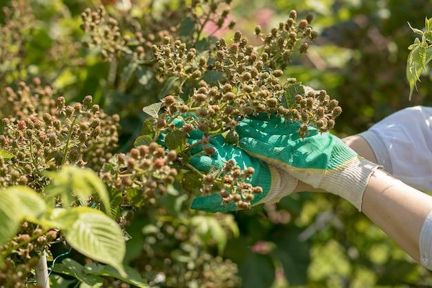 Женщина-садовник, руки в перчатках ухаживает за кустами blackberry. хозяйство, огород. летний сбор ягод. фото