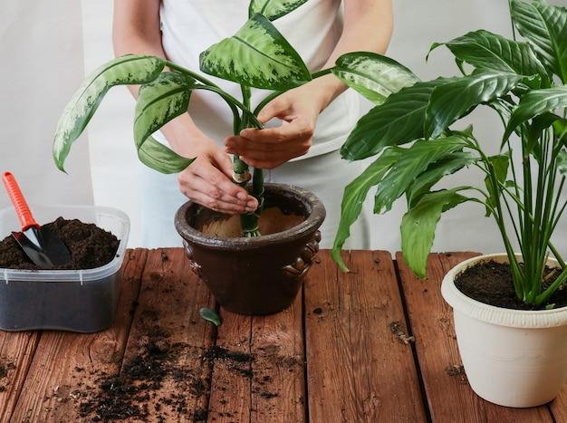 茶色の木のプラスチック製の鉢にspathiphyllumcrassulaperfoliataを移植する庭師の女性