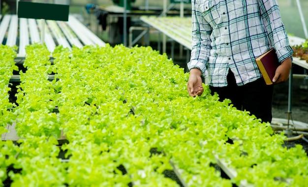 プロットの庭師と有機レタス健康的な食事の概念有機食品は家庭で食べる野菜を育てる健康のための有機野菜プロット、緑の野菜