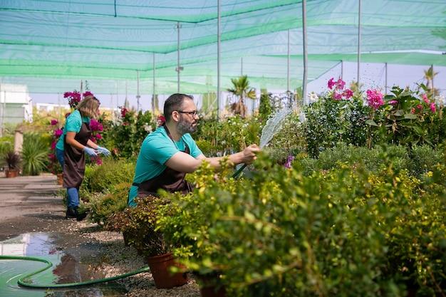Giardinieri in grembiuli che coltivano piante in serra, utilizzando il tubo flessibile per l'irrigazione. uomo in grembiule con spruzzi d'acqua. concetto di lavoro di giardinaggio