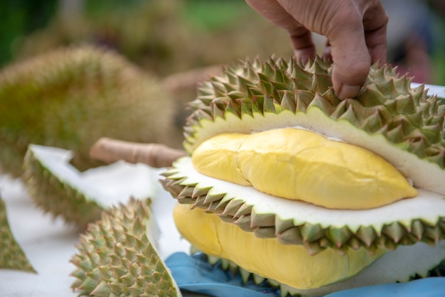 Gardeners are casing durian. yellow is beautiful to eat.