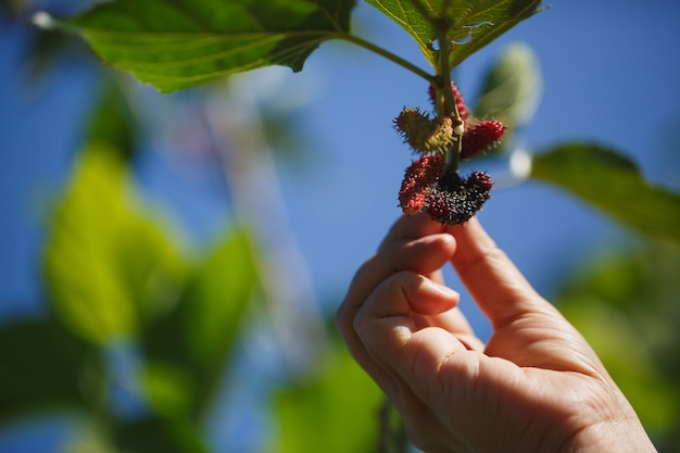 Gardeners collect mulberries on branches