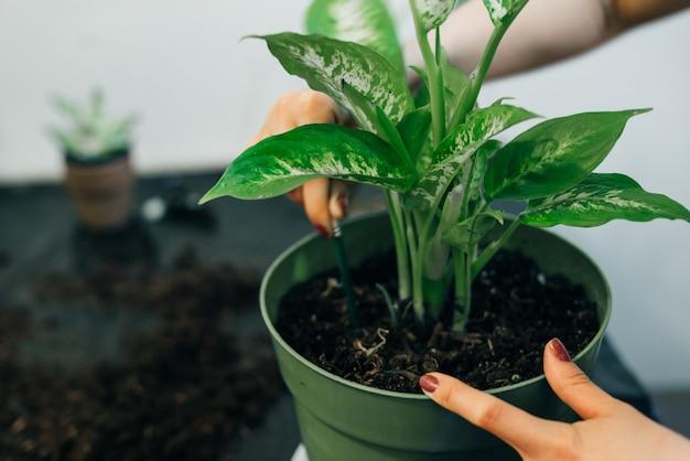 정원사는 흙이나 흙이 있는 냄비에 꽃을 심습니다.