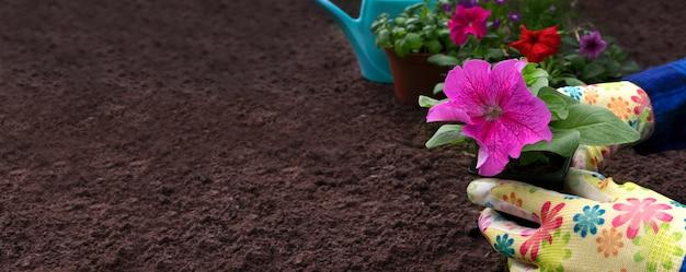정원사는 정원에 피튜니아 꽃을 심고 있습니다. 디자이너를 위한 템플릿입니다. 공간을 복사합니다. 배너.