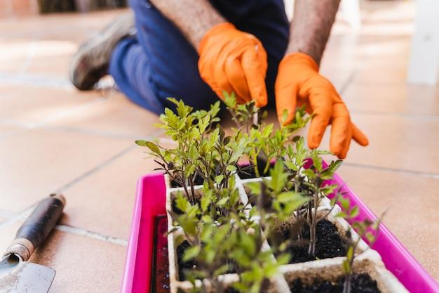 庭師の男性の手が庭にトマトの苗の裏庭を植える