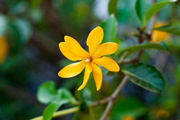 Gardenia carinata wallich