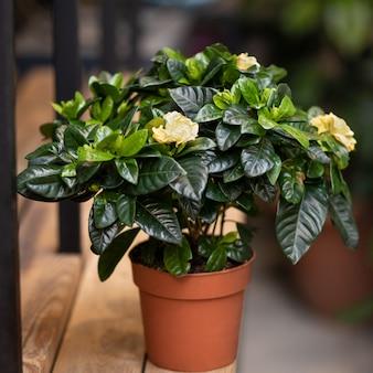 꽃과 함께 냄비에 치자 나무 식물