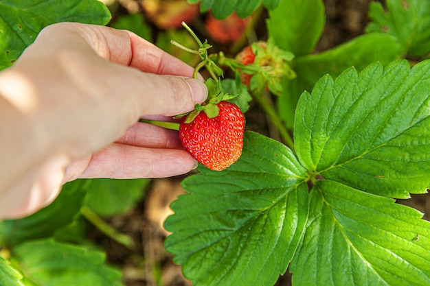 Gardening and agriculture concept. female farm worker hand harvesting red fresh ripe organic strawberry in garden. vegan vegetarian home grown food production. woman picking strawberries in field.