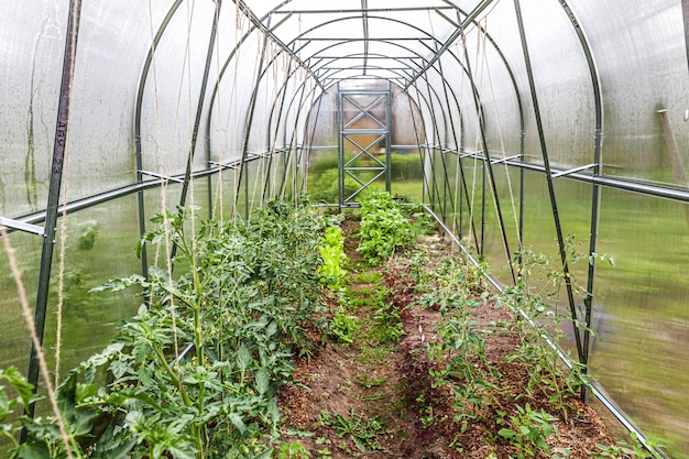 Gardening and agriculture concept. organic tomatoes growing in greenhouse. greenhouse produce. vegetable food production.