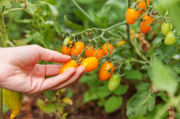 Gardening and agriculture concept. woman farm worker hand picking fresh ripe organic tomatoes. greenhouse produce. vegetable food production. tomato growing in greenhouse.