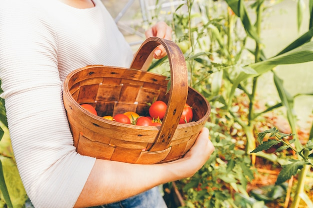 Gardening and agriculture concept. woman farm worker hands with basket picking fresh ripe organic tomatoes. greenhouse produce. vegetable food production. tomato growing in greenhouse.