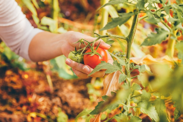 Gardening and agriculture concept. woman farm worker hands with basket picking fresh ripe organic tomatoes. greenhouse produce. vegetable food production.