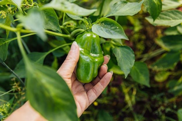 원예 및 농업 개념. 여성 농장 노동자 손 정원에서 녹색 신선한 익은 유기농 피망을 수확.