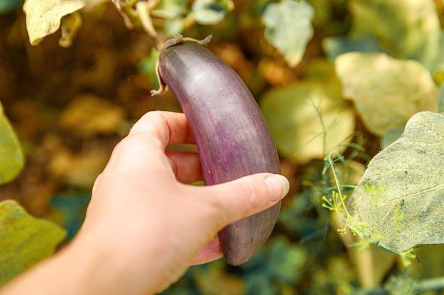 Концепция садоводства и сельского хозяйства. работник фермы рука сбора фиолетовый свежие спелые органические баклажаны в саду.