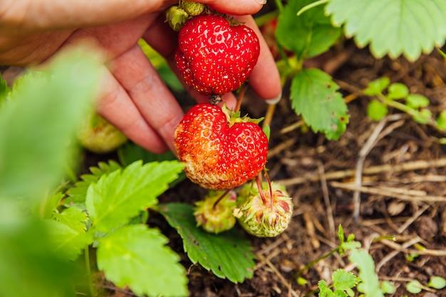Концепция садоводства и сельского хозяйства. женский работник фермы рука сбора красной свежей спелой органической клубники в саду. веганские вегетарианские продукты собственного производства. женщина собирает клубнику в поле.