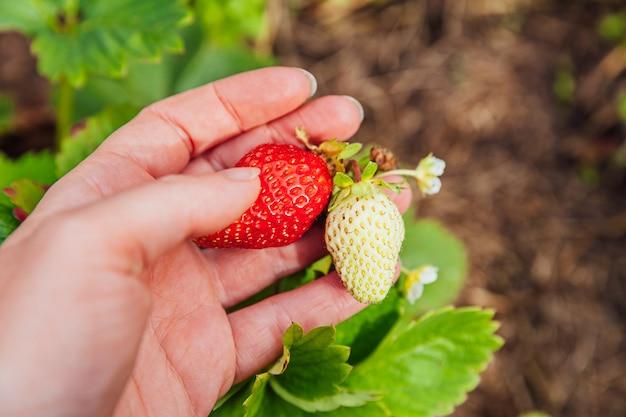 Концепция садоводства и сельского хозяйства. рука сбора красной свежей спелой органической клубники в саду