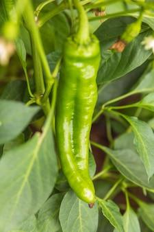 Концепция садоводства и сельского хозяйства идеально подходит для зеленого свежего спелого органического болгарского перца, готового к сбору урожая ...