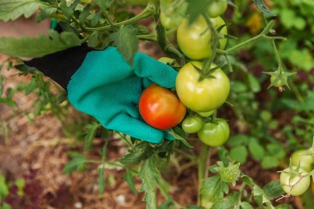 ガーデニングと農業のコンセプトです。女性の農場労働者は、新鮮な完熟有機トマトを選ぶ手袋をはめます。温室の生産物。野菜の食糧生産。温室で育つトマト。