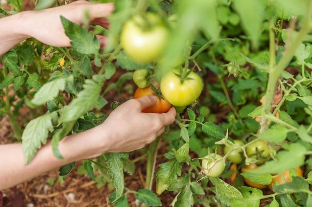 ガーデニングと農業のコンセプトです。新鮮な完熟有機トマトを選ぶ女性農場労働者の手。温室の生産物。野菜の食糧生産。温室で育つトマト。