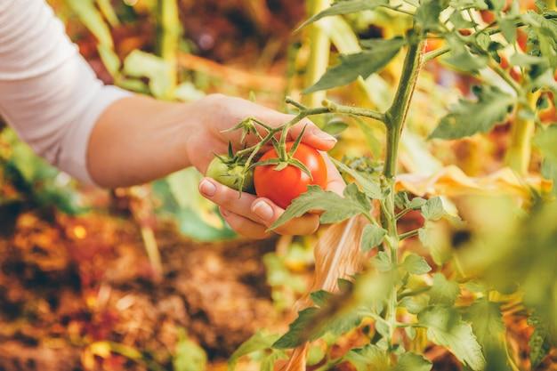 Садоводство и сельское хозяйство концепция. руки работника фермы женщины при корзина выбирая свежие зрелые органические томаты. тепличные продукты. производство растительных продуктов.