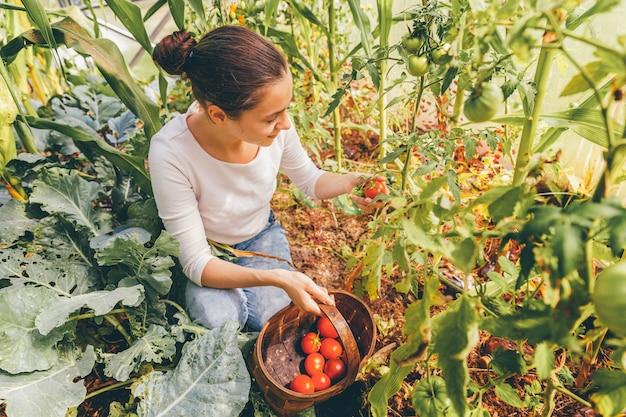 Садоводство и сельское хозяйство концепция. сельскохозяйственный рабочий молодой женщины при корзина выбирая свежие зрелые органические томаты. тепличные продукты. производство растительных продуктов. помидор растет в теплице.