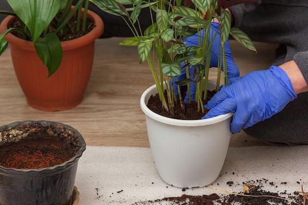 집에서 원예. 한 남자가 집 정원에 ctenanthe를 이식합니다. 집에서 화분에 심은 녹색 식물, 집 정글, 정원 방, 조경, 식물 방, 꽃 장식.