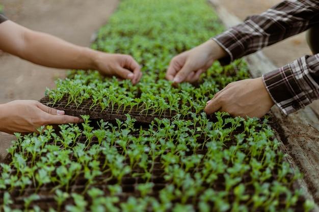 원예 개념 농부는 녹색 묘목을 화분에서 제거하여 준비된 토양에서 자라기 전에 도태시킵니다.