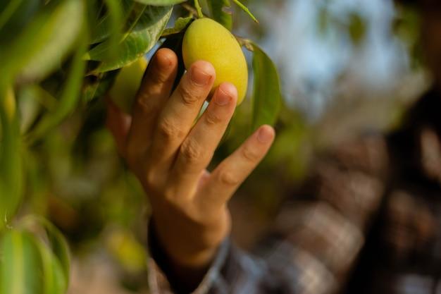 ガーデニングのコンセプトは、収穫期の前に果物のサイズ、色、品質をチェックする男性の庭師です。